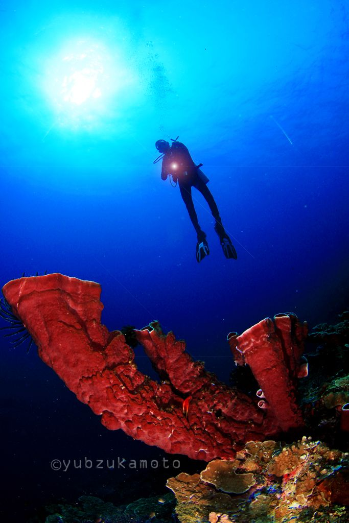 SPONGE TOWER and DIVER south bolaang mongondow regency north sulawesi - indonesia