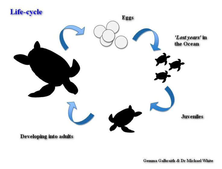 Green sea turtle life cycle diagram | Stage 2: Life cycles of ...