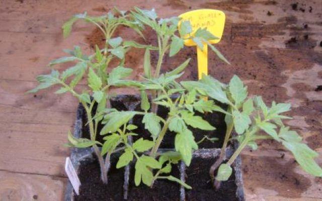 Coltivare l'orto - Manuale del perfetto coltivatore di pomodori #coltivare #pomodori #malattie #pomodori
