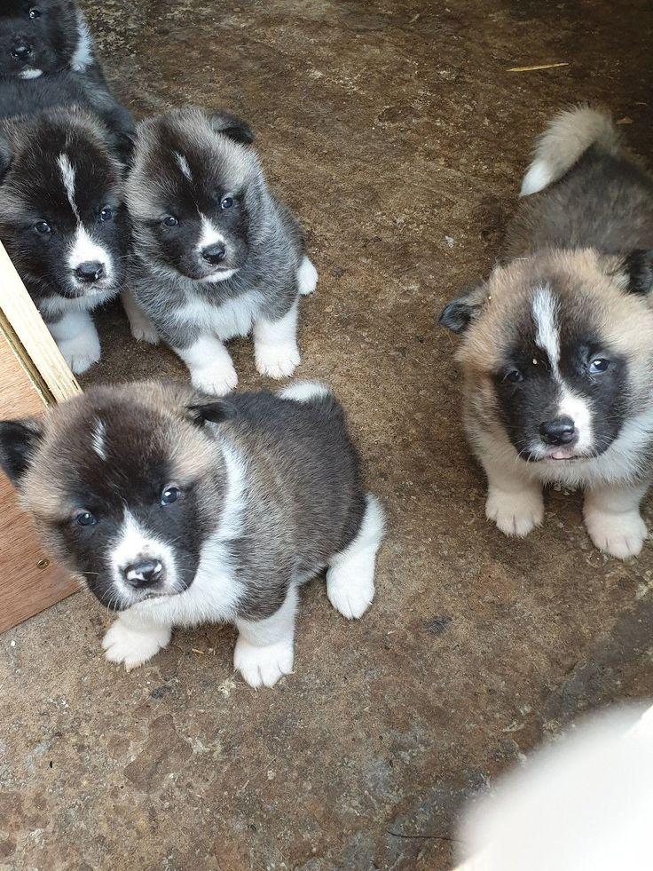 corgi puppies for sale columbus oh