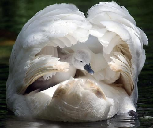 Swan, cygnet, wings, white