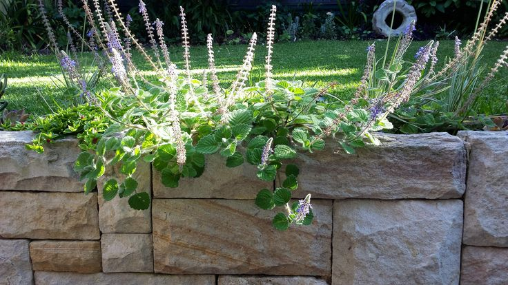 New sandstone retaining wall and plectranthus sp. for eastern suburb's garden design.