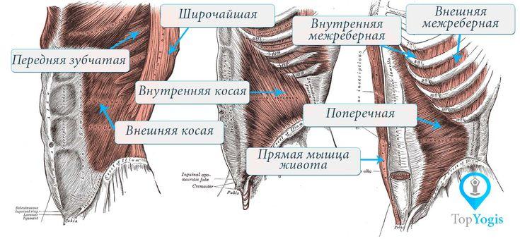 Мышцы живота и дыхание Анатомия йоги. Статья о техниках дыхания в йоге на https://topyogis.com/ru/blog/anatomia-iogi/dyhanie-i-ioga
