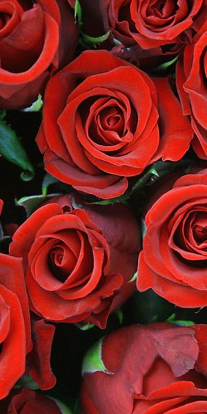 Red roses are the ultimate sign of romance for your loved one for any occasion. #roses #redroses #ravishingred