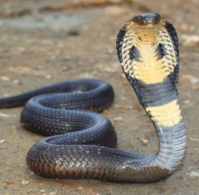 """A cobra rei (Ophiophagus hannah) é um elapídeos encontrado predominantemente em florestas da Índia através do sudeste da Ásia. Esta espécie é maior cobra venenosa do mundo, com um comprimento até 18,5 para 18,8 ft (5.6 a 5,7 m).Apesar da palavra \""""cobra\"""" em seu nome comum, esta cobra não é um membro do gênero Naja (\""""cobras de verdadeiras\""""), que contém a maioria das espécies de cobra, mas o único membro de seu próprio gênero."""