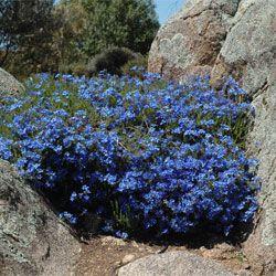 Lechenaultia biloba - open spreading plant to 50 cm high