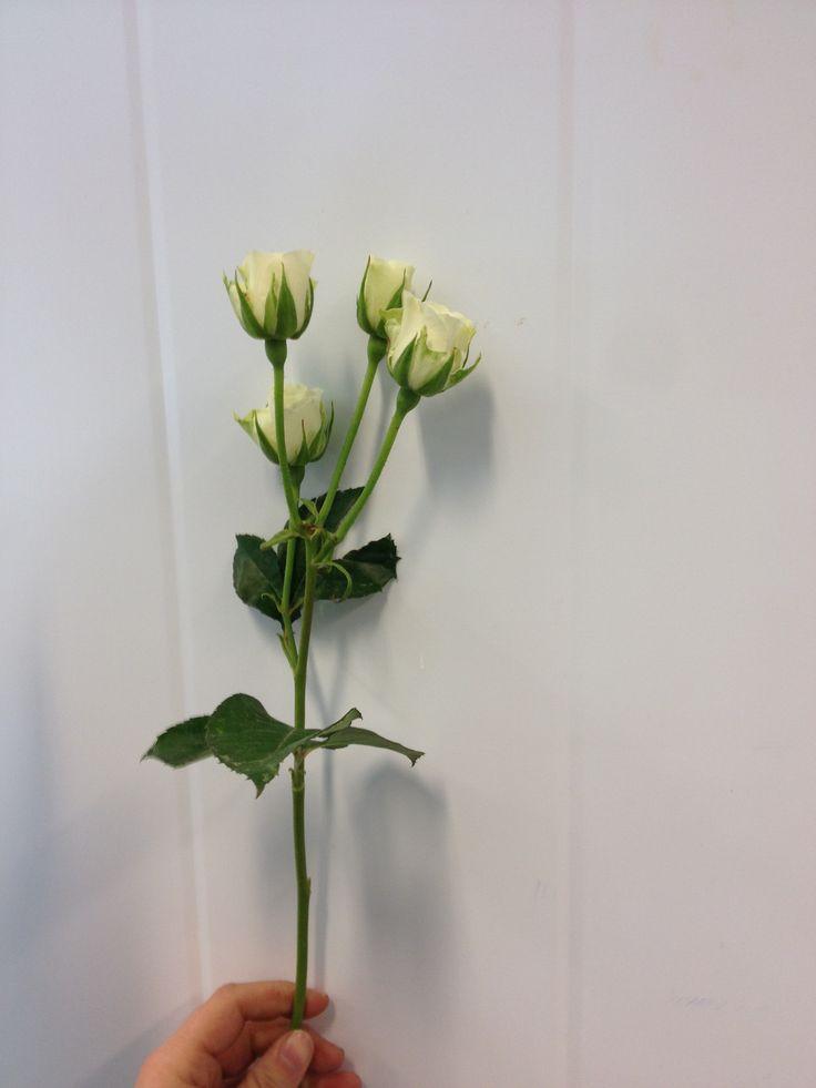 Rosa - Snow flake - Grein rose - Hvit