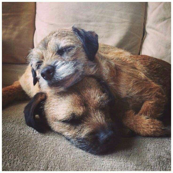 Sweet...border terrier love