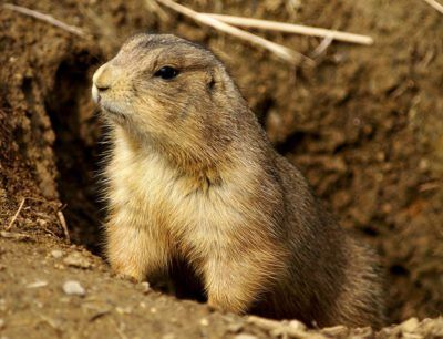 The Republican candidate for Congress in Montana recently slaughtered prairie dogs with Donald Trump Jr. for publicity. The prairie dogs are important ecologically and the hunt took place during their breeding season, when females were pregnant. Sign this petition to denounce this disgusting politically motivated animal hunt.