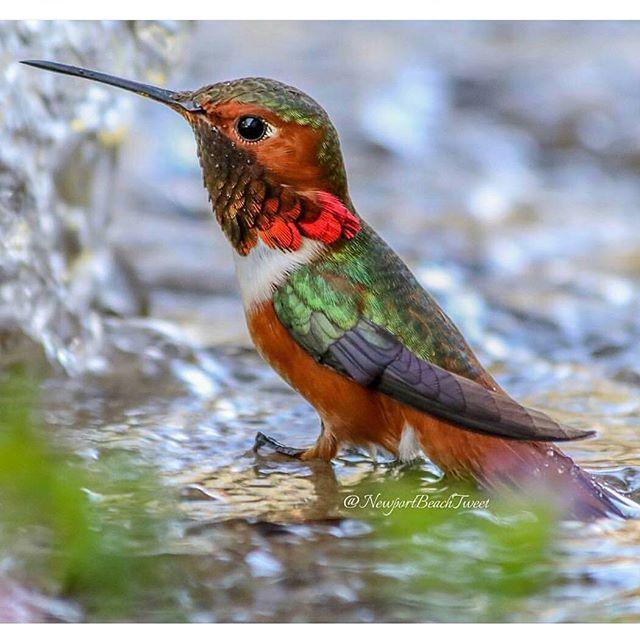 Allen's hummingbird in fountain. Newport Beach, California.
