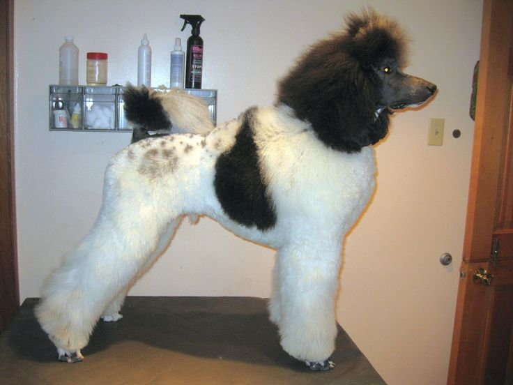 Huxtable The Poodle | Toy Poodle Blog | Parti Poodle: Parti Poodle in Cuts and Clips: Lamb, European Puppy, English Saddle