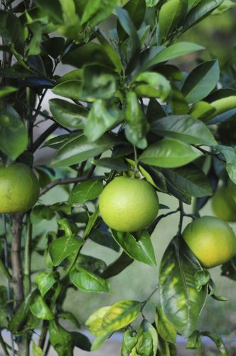 navel oranges... how to grow your own in your backyard!!