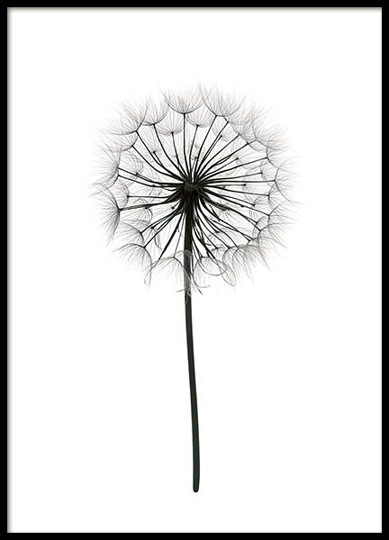 Super pretty black and white botanical photograph of a dandelion on a white background. Clean and stylish design – it is a perfect complement to a picture collage on the wall and will definitely add a nice touch to your home. www.desenio.com