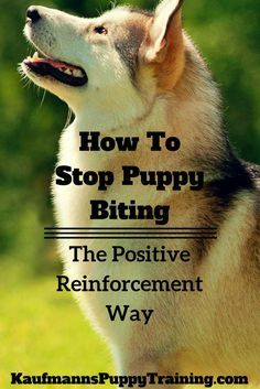 How to stop puppy biting easily so that you can enjoy playtime with your puppy and feel confident about having your dog around kids and strangers. #dogtraining #biting #tips @KaufmannsPuppy