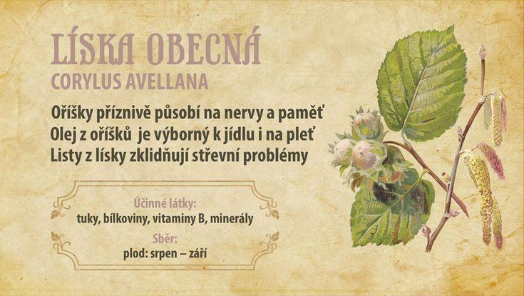Líska obecná — Herbář  — Česká televize — Herbář — Česká televize