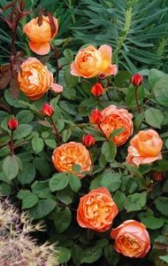 David Austin roses-Lady Emma Hamilton (English rose)