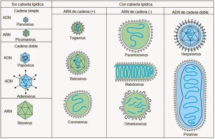 Los fagos como modelo de investigación       La invención del microscopio electrónico en la década de 1930, permitió el estudio de ultraest...