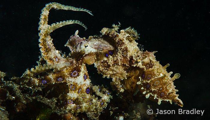 Mating blue ring octopus by Jason Bradley