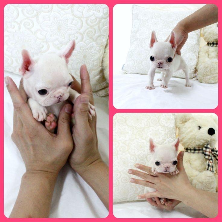 Adorable Mini Piglet ~ Precious Mini French Bulldog Puppy Available!