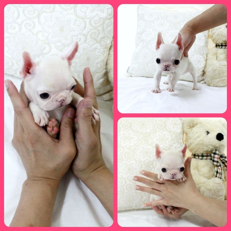 Adorable Mini Piglet ~ Precious Mini French Bulldog Puppy Available!