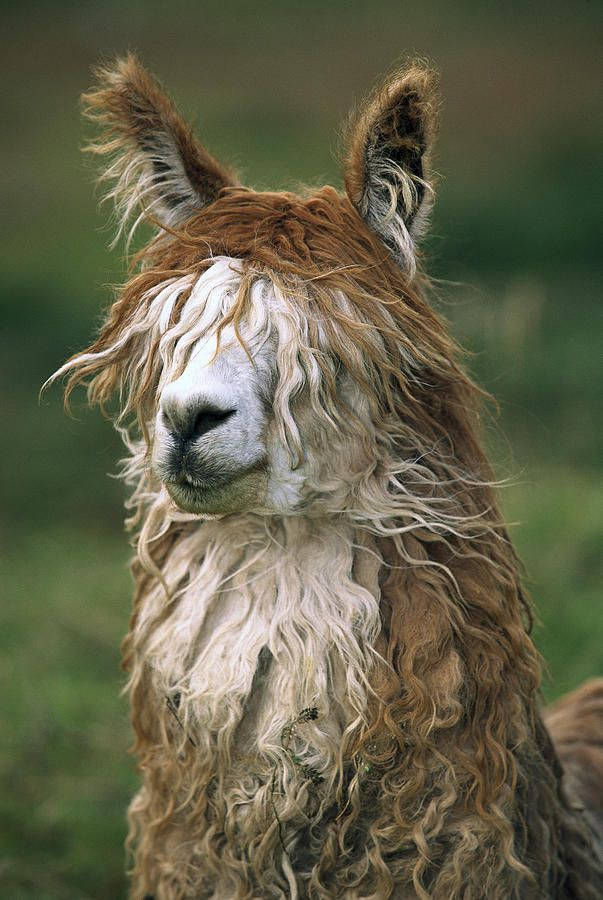 25 best ideas about alpaca funny on pinterest funny