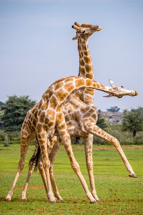 (via 500px / Giraffe Fight Club II by Denis Roschlau)