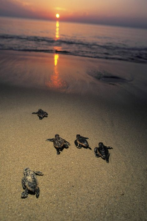 See baby turtles making their way back to the sea.