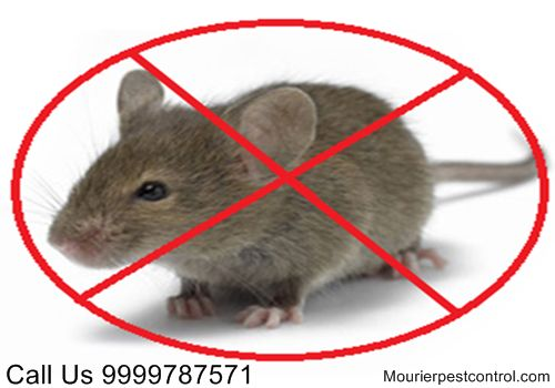 Call @ 9999787571. Uproot rats from your premises with excellent and high-performing rats control service in Delhi with Mourier pest control. it is the best pest control service in Delhi/NCR.