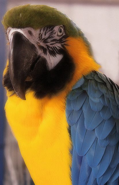 My dream bird.. I wish they weren't so expensive...