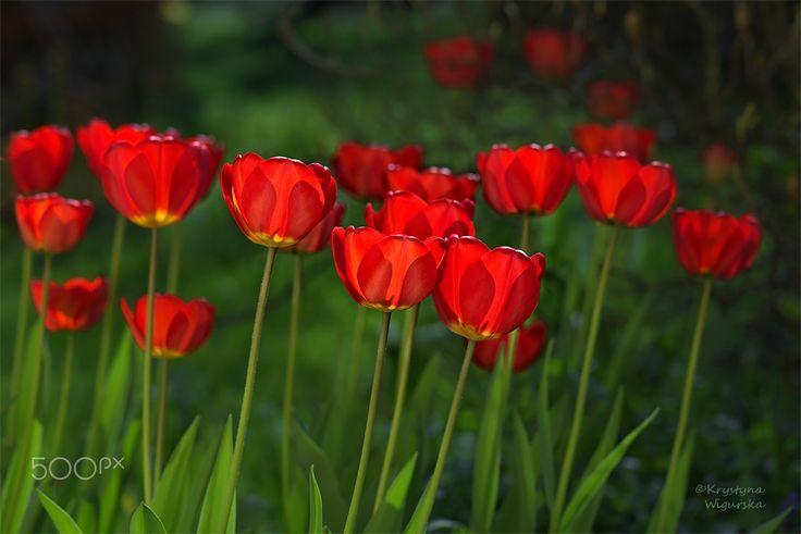 Tulipanowe pole - null