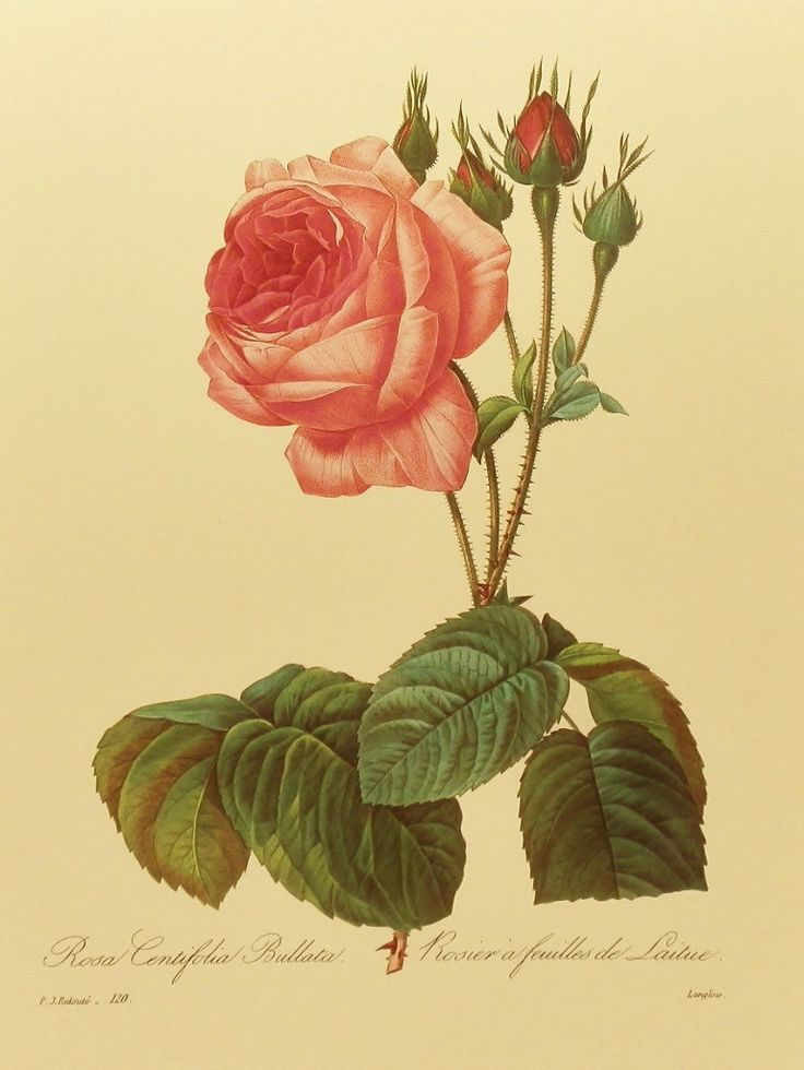 17 Best Images About Botanical Illustration Tattoo
