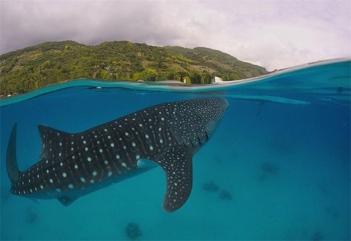 Жители морского мира. Часть 4. Фото 1-2.Китовая акула.была впервые описана Эндрю Смиттом в 1828 году, на основе особи, убитой гарпуном у берегов Южной Африки. Исторически сложилось так, было...
