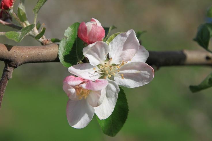 Apple Blossom, Close-Up