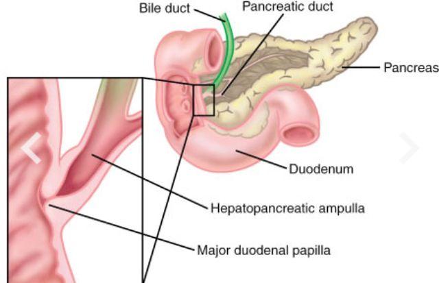 hepatopancreatic ampulla and sphincter of oddi