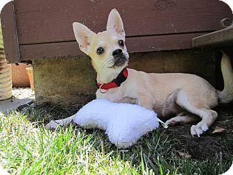 Buzz - Pug/Chihuahua Mix