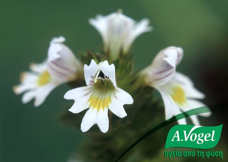 Η ευφράσια (Eyebright) χρησιμοποιείται παραδοσιακά από τους φυτοθεραπευτές ως τοπική αντιμετώπιση φλεγμονών των ματιών, που συμπεριλαμβάνουν επιπεφυκίτιδα / βλεφαρίτιδα και κριθαράκι.  Ευφράσια θα βρείτε στο κολλύριο της A.Vogel με υαλουρονικό οξύ, το οποίο είναι κατάλληλο και για παράλληλη χρήση με φακούς επαφής.  http://www.avogel.gr/product-finder/avogel/Eye_Drops.php