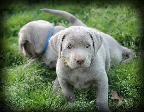Silver Labrador Retriever Puppies - next family dog
