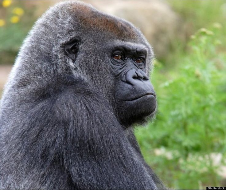 Western  Lowland Gorilla: Average Life Span 50 Years | Oldest Animals: Life Spans Of Elephants, Tortoises And More Species