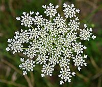 Queen's Anne's Lace. These grow every other year in my Garden.