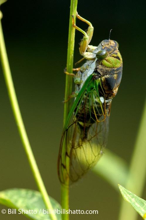 30 best cicadas cicada flies images on pinterest fly. Black Bedroom Furniture Sets. Home Design Ideas