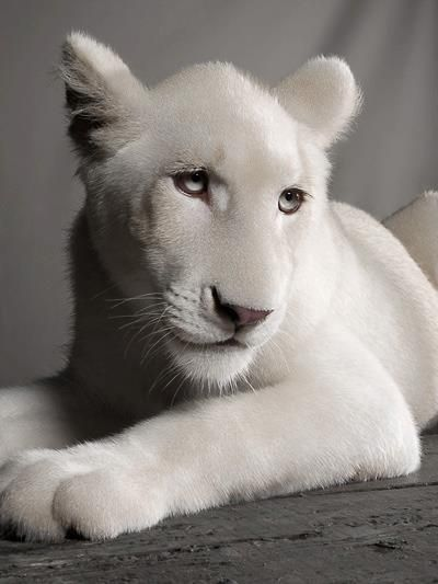 ~~ White lioness photo - 11 months old ~~ by Jean-Pierre Collin ~~