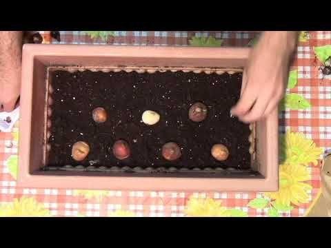 Cómo y cuando plantar tulipanes y bulbos - YouTube