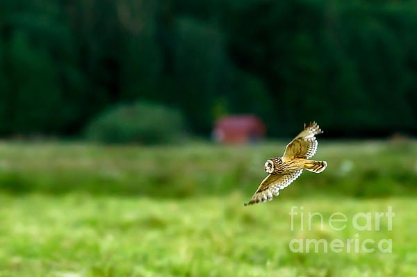 The short-eared owl (Asio flammeus) are flying low over the meadow in Uppland, Sweden