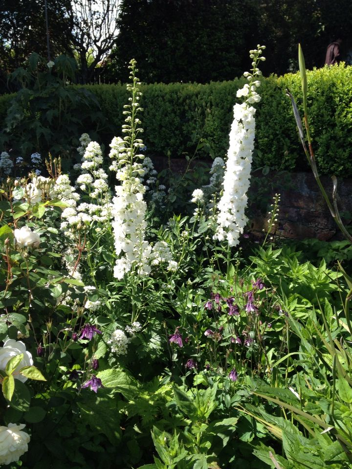 White delphiniums - classic, elegant and timeless