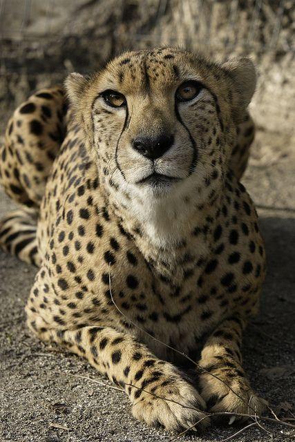 Three Cheetahs Return to Washington by Smithsonian's National Zoo, via Flickr
