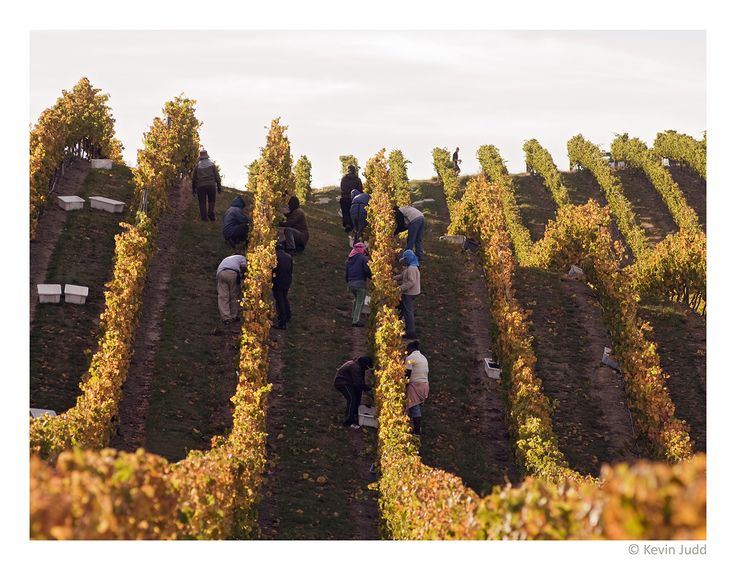 Yarrum Vineyard, Southern Valleys, Marlborough, New Zealand