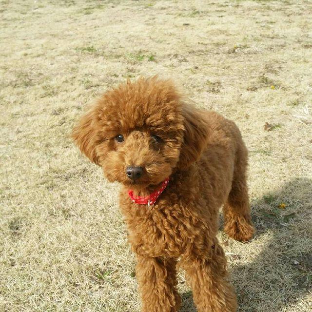 昨日から休みに入った旦那さんと公園デートを楽しんでるらしいしめじ😏✨ 服着るの忘れてるから寒そうだー😰💦 早く仕事終わって私もしめじと遊びたいよー(笑)🏃💨 #トイプードル #トイプードル部 #パピー #6ヵ月 #toypoodles #red #愛犬 #dog #lovedog #cute #かわいい #癒しワンコ #ワンコ #犬バカ #犬のいる生活 #愛犬家 #鼻長い #ふわもこ部 #公園デート #寒そう #もう顔隠れてきたかも #走り回って寒くなさそうらしい #帰りたい😂 #しめじ
