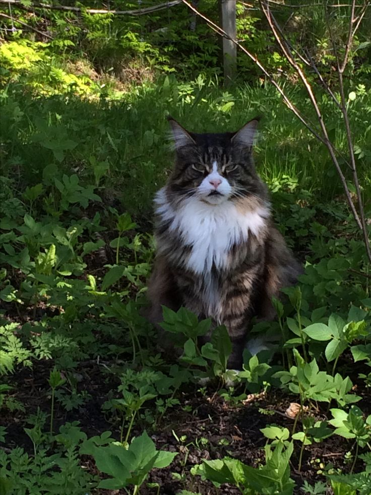 Main coon his name Dovaciin