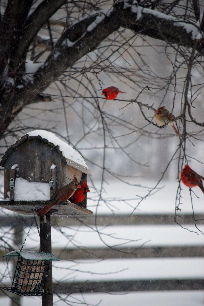Cardinals winter day.   by senoracak on Flickr