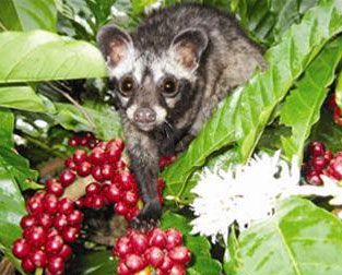 Using a metabolic approach, scientists in Japan say they have developed a system to verify the authenticity of kopi luwak coffee beans. A team of researchers from Osaka University says the verifica...